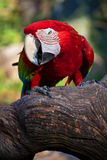 What's up Mate. It's the time when cute macaw change in to threatening Royalty Free Stock Photo