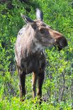 What's up moose? Royalty Free Stock Photos