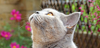 What's that up there then?. Photo of a beautiful pedigree british shorthair cat looking rather bemused at something in the garden Stock Images