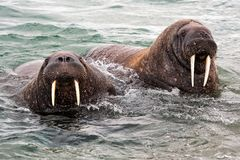 What a sight! Heavyweights on the coast of Svalbard. What a sight . Walrusses on the coast of Svalboard during a walk on the beach. Strong protected animals stock photography