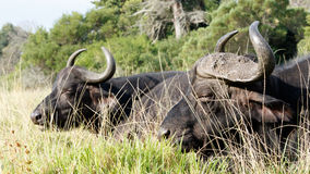 What is for Supper - African Buffalo Syncerus caffer. The African buffalo or Cape buffalo is a large African bovine. It is not closely related to the slightly royalty free stock photography