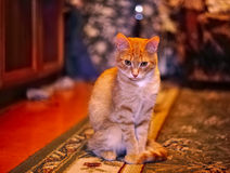 What is there. A domestic cat poses for a photo. A cat who likes to be photographed. A lovable domestic pet, amuses and pleases everyone Royalty Free Stock Image