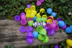 What Is It to Be Different. Colorful plastic eggs scattered in the garden one different with zebra stripes . On a wooden stair and green ground cover. Close up Royalty Free Stock Photo
