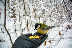 What to feed the birds in the winter? Man feeds the bird in the winter forest. stock photo