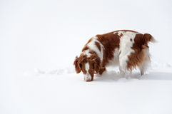 What is under the snow. A playful Brittany spaniel smelling the snow, looking for mice Stock Image