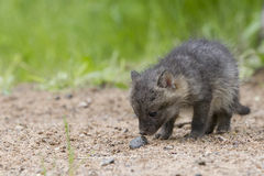 What is this. Very curious grey fox kit looking in amazement at pebble Stock Photos