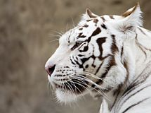What the white tiger thinks? Royalty Free Stock Photography