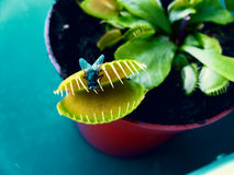 Carnivorous plant and fly Stock Images