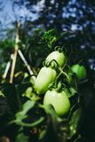 Organic Green Tomatoes with blur background royalty free stock photos