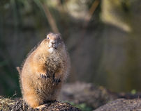 What are you lookin` at?!. A prairie dog ready to attack Royalty Free Stock Photo