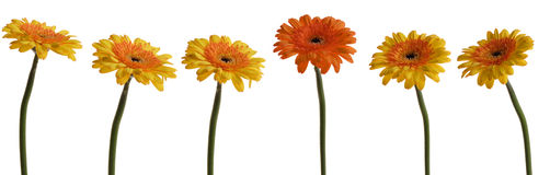 What are you looking at?. A group of six gerbera flowers Stock Images