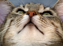 What are you looking at?. A concentrated cat, looking up Royalty Free Stock Images