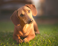 What Are You Looking. Dog in the grass under sunset looking at the camera Stock Photography