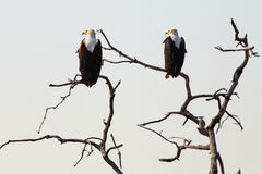 What are you looking at?. 2 Fish eagles in tree branches stock images