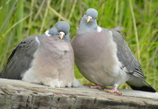 What are you looking at? Pigeons. Two pigeons wondering what on earth I was looking at. Perhaps disturbing and intimate moment Stock Photo