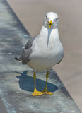 What are you looking at ?  Ring-billed Gull (Larus delawarensis) poses near Niagara river and Falls.   Waterside Stock Images