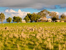 What you looking at. Some very nervous sheep on a farm in Victoria Australia royalty free stock photo