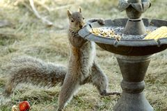 What you looking at. Squirrel ratting food from a bird feeder Royalty Free Stock Image