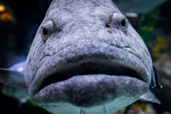 BIG ANGRY FISH Royalty Free Stock Image