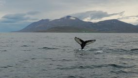 Tale of the whale in the fjord. We are whatched whale, he saw his tale Stock Photography