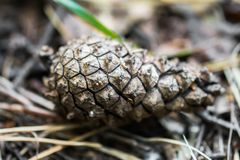 Pine cone close-up on a blurry background of the autumn forest. Whatever the season, lush coniferous twigs with cones, smelling resinous aroma, evoke the Royalty Free Stock Image