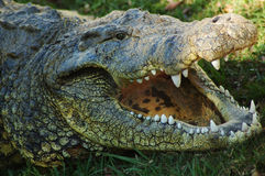 Whats for lunch? #2. Adult nile crocodile, Kwazulu Natal, South Africa Stock Photo