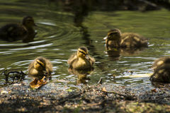 Whats for Lunch?. Baby mallard ducks looking for something to eat Stock Photography