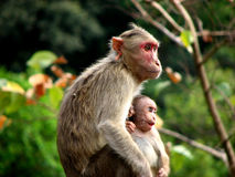 Whats That Mother?. An Indian monkey mother with her baby Stock Photos
