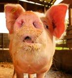Whats up?. Scary pig looking at camera royalty free stock photo