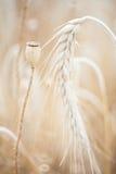Wheal和罂粟属干燥与在黄色领域的昆虫 免版税库存照片