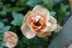 Whealting light pink rose stock images