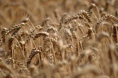 wheat_2的成熟耳朵 库存图片