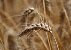 wheat_3的成熟耳朵 图库摄影