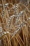 wheat_4的成熟耳朵 库存图片