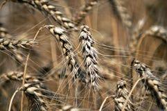 wheat_5的成熟耳朵 免版税库存图片
