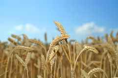 Wheat 01 Royalty Free Stock Photo