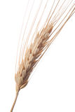 Wheat 1 Royalty Free Stock Photo