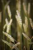 Wheat. Growing on a field Stock Images