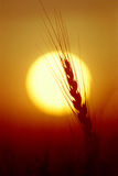 Wheat. Silhouette of wheat on a sunset background Stock Photo