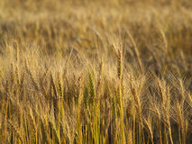 Wheat. Field under the sunlight royalty free stock photography