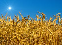 Wheat. In the sky background Stock Photography