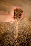 Wheat. In the hand of a person Stock Photography