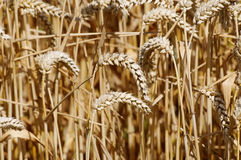 Wheat. Spikes close-up as natural background image Royalty Free Stock Images