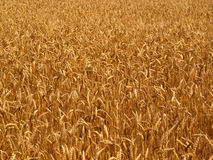 Wheat. Field detail abstract background royalty free stock photography