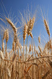 Wheat. Field of wheat Royalty Free Stock Photography