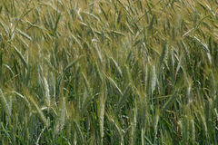 Wheat. Photo of wheat growing in field Royalty Free Stock Image