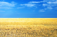Wheat. Crop on the field with the blue sky Stock Images