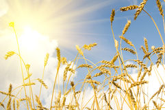 Wheat. The wheaten field, the ripened cereal , Brightly the sun shines   Profile Adobe RGB (1998 Royalty Free Stock Image