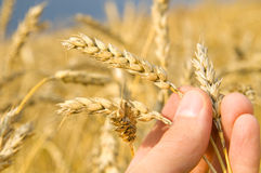 Wheat. Fingers of a man's hand hold the ripened ear wheat, outdoor Royalty Free Stock Photos