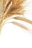 Wheat. Ears on an orange background Royalty Free Stock Photo